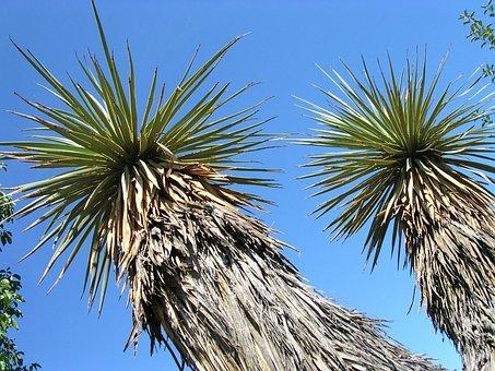 Yucca, Thompsoniana, Stem Yucca