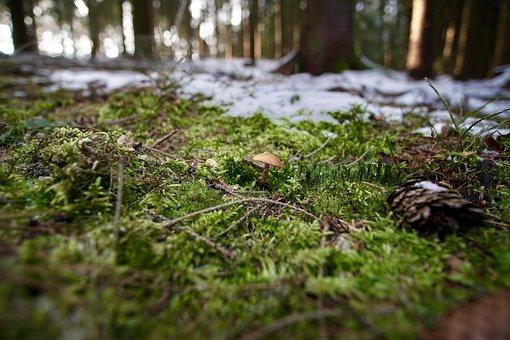 Braunfüßiger Häubling, Toadstool, Forest, Forest Floor