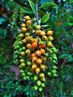 Berries, Duranta, Yellow, Pointed, Shiny, Green, Tree