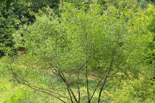 Tree, Leaves, Aesthetic, Branches, Rhamnus Frangula