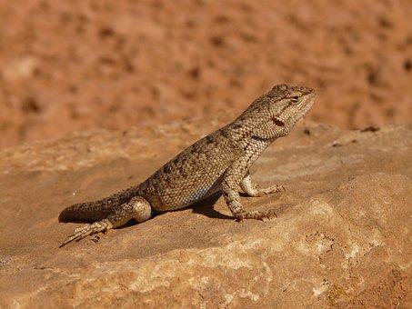 Desert Spiny Iguana, Spiny Iguana, Iguana, Animal