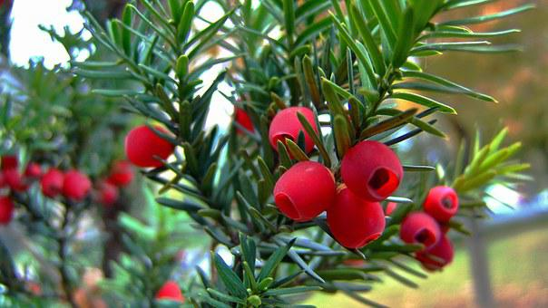 Red, Berry, Yew Tree Fruit