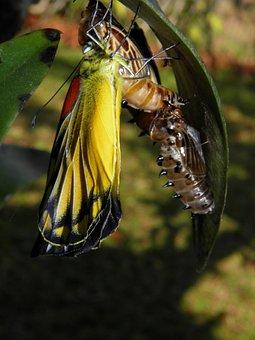 Butterfly, Chrysalis, Garden, Thailand