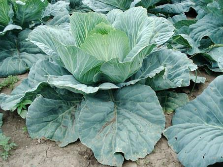 Sprouts, Cabbage, Plant, Vegetable