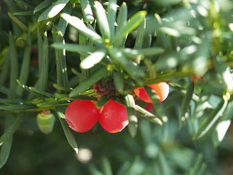 Yew, Yew Fruit, Berries, Conifer, Toxic