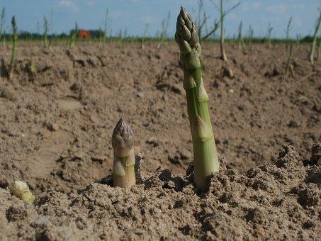 Asparagus, Field, Agriculture, Growth, Crop, Plant