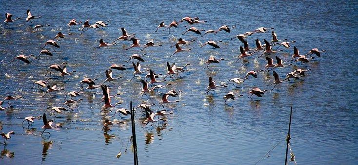 Flamingos, Flying, Lift Off, Flock, Flocking, Animal