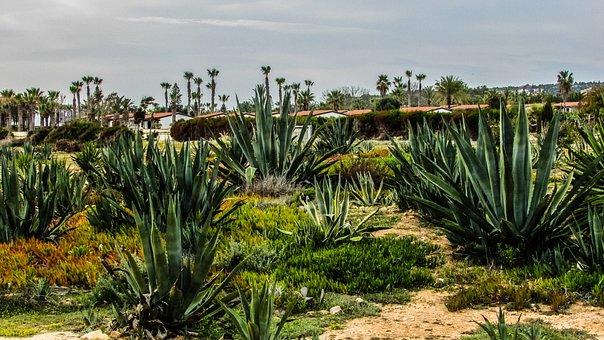Cyprus, Kermia, Aloe Vera, Cactus, Flora