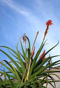Aloe, Vera, Plant, Sky, Nature, Flower