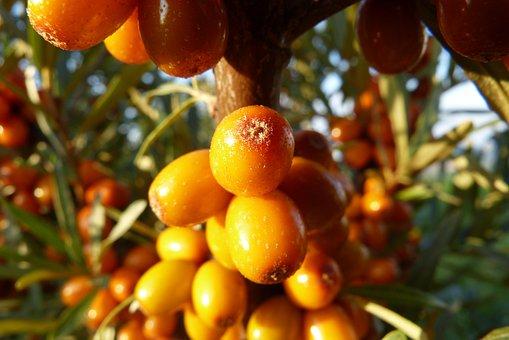 Selenium řešetlákový, Macro, Bush, Fruits