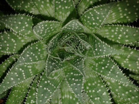 Aloe Vera, Green, Flower