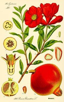 Pomegranate, Punica Granatum, Fruit, Drawing, Healthy