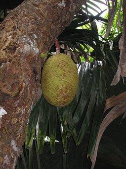 Jack Fruit Tree, Jack Fruit, Fruit, Tree, Tropical