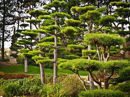 Trees, Japan, Japanese Yew, Park, Plant, Nature