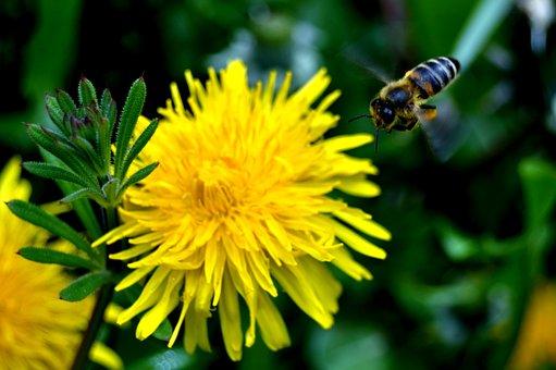 Bees, Aloe Vera, Nature, Dandelion, Flower
