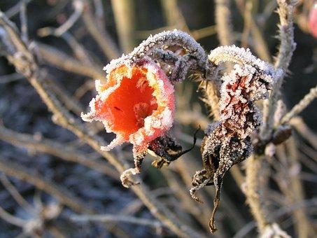 Rose Hips, Frost, Winter, Nature, Fruit