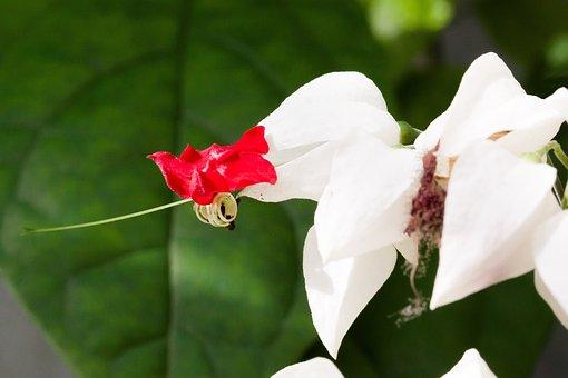 Whorled Thomsoniae, Flowers, Ornamental Plant, Petal