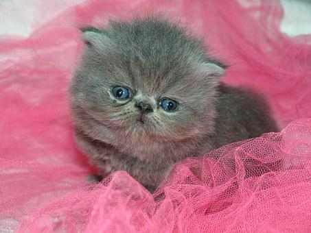 Cat, Cute, Puppy, Kitten, Gray, Pink, Blue Eyes