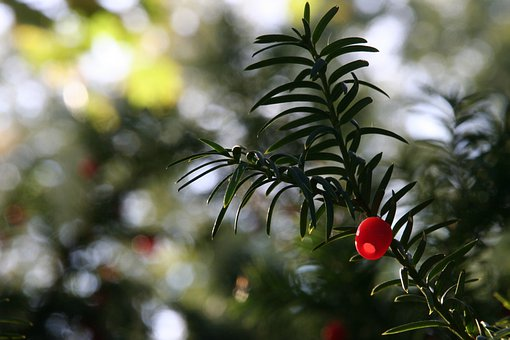 Plant, Yew, Fruit, Berry, Red