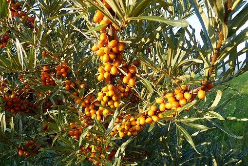 Selenium řešetlákový, Bush, Fruits, Plant