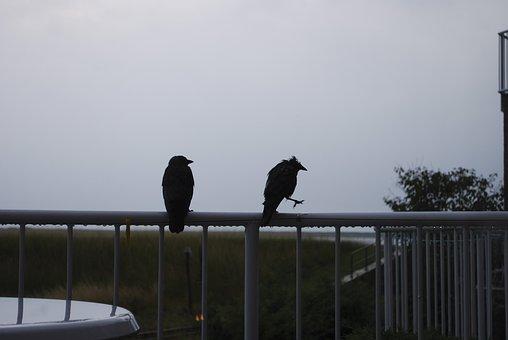 Raven, Wet, Rain, Brothers, Parapet, Rod, Railing