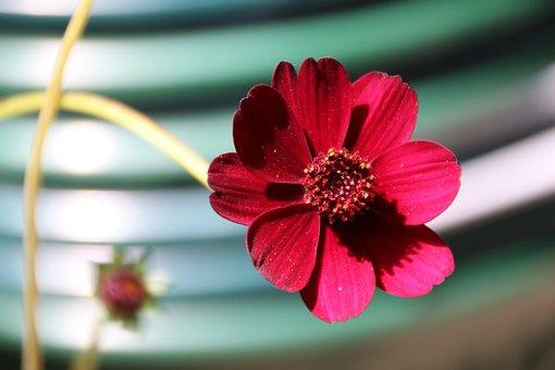 Chocolate Flower, Blossom, Bloom, Red, Plant, Garden