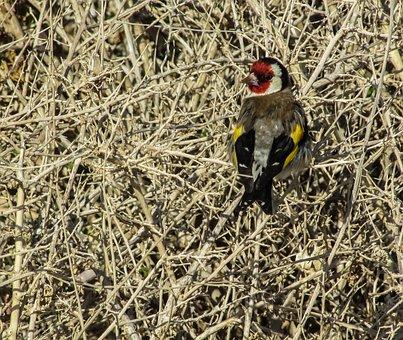 Goldfinch, Bird, Carduelis, Nature, Wildlife, Songbird