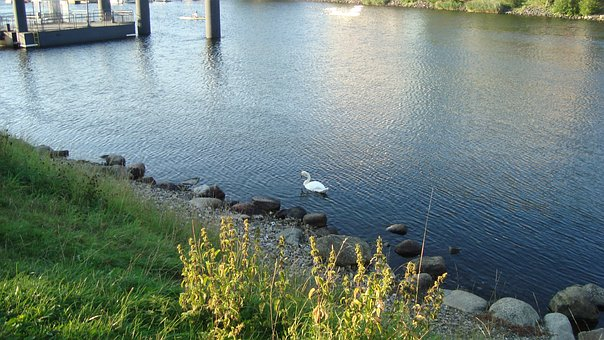 Water, River, Grass, Bird, Swan, Stones, Kiel, Germany