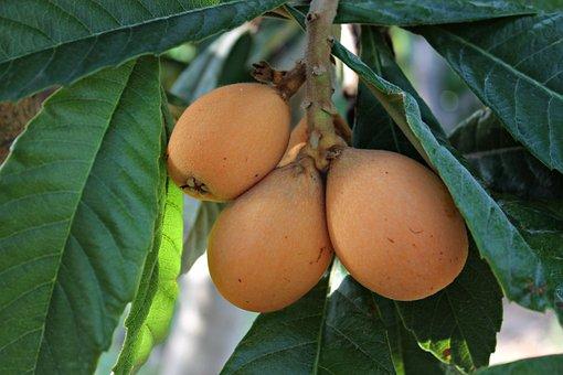Medlar, Fruit, Food, Sweet, Mediterranean