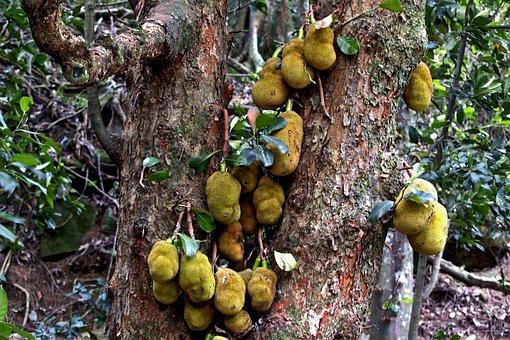 Jack, Fruits, Tree, Tropical, Sweet, Jackfruit
