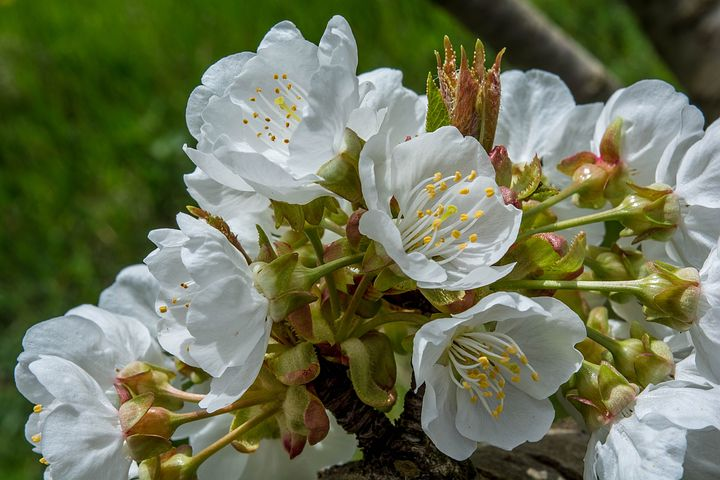 Flowers, Cherry, Nature, Spring Flowers, Spring, Bloom