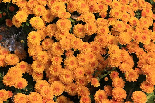 Chrysanthemum, Republic Of Korea, Flowers, Plants