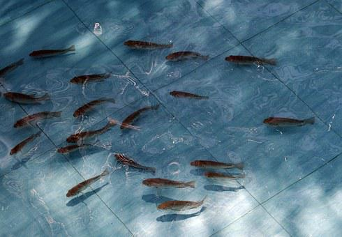 Tilapia, Fish, Fingerlings, Pond, Fauna, Fresh Water