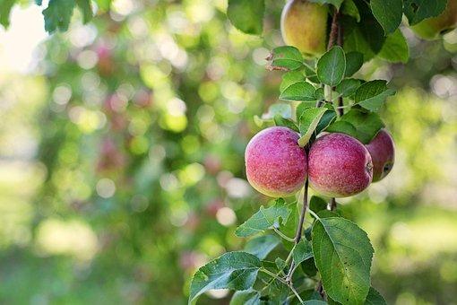 Apples In Tree, Apples, Nature, Fruit, Green, Season