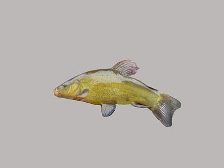 Tench, Fishing, Fish, Green, Freshwater Fish