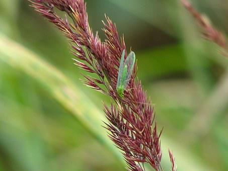 Lacewing, Insect, Wild Grain, Green, Wing, Grasses
