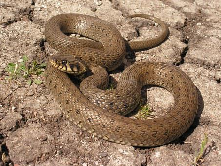 Snake, Natrix