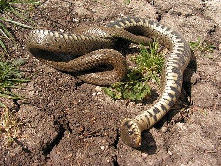 Snake, Dead, Tanatóza, Natrix