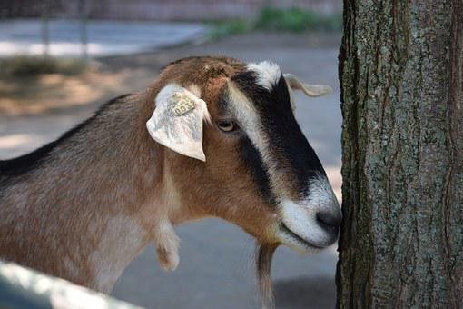 Goat, Pittsburgh Zoo, Shy, Nose On Tree