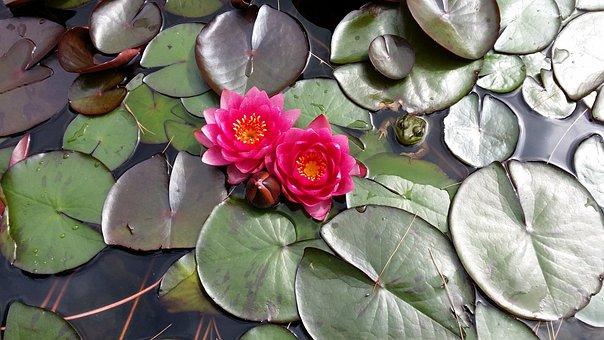 Waterlily, Blossom, Ornamental Pond, Fishpond