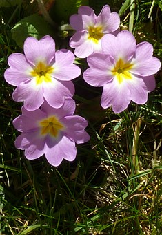 Primrose, Flower, Plant, Primula, Primroses, Spring