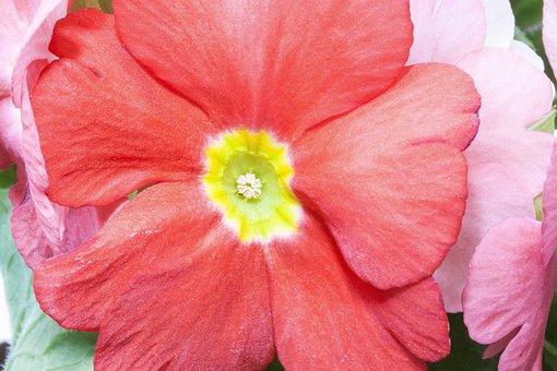 Primroses, Primula Vulgaris Hybrid, Salmon, Orange