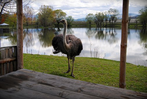 Ostrich, Relaxation, Outdoor, Lake, Peaceful, Grass