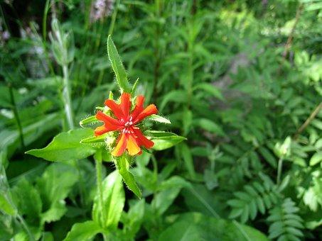 Student Carnation, Flower, Orange, Green, Summer