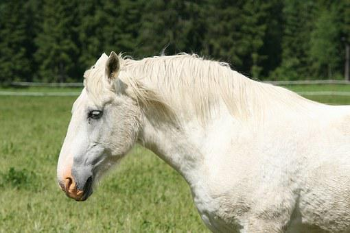 Summer, White Horse, Horse Head, Horse Feed