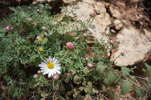 Taihang Chrysanthemum, Wild Flowers, Small Fresh