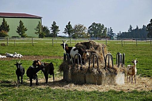 Goats, Hay, Krmelec, Fences, Economy, Animals, Trees