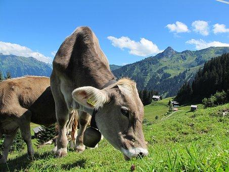 Milk Cow, Cow, Austria, Mountains, Graze, Dairy Cows