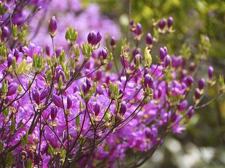 Flowers, Azalea, Mount Azalea