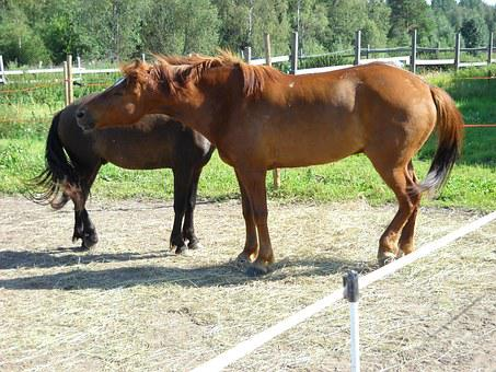 The Finnish Horse, Horse, Chestnut, Gelding